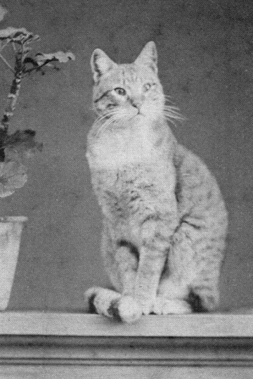 2 Gatto rosso Alessandro pavia 1884