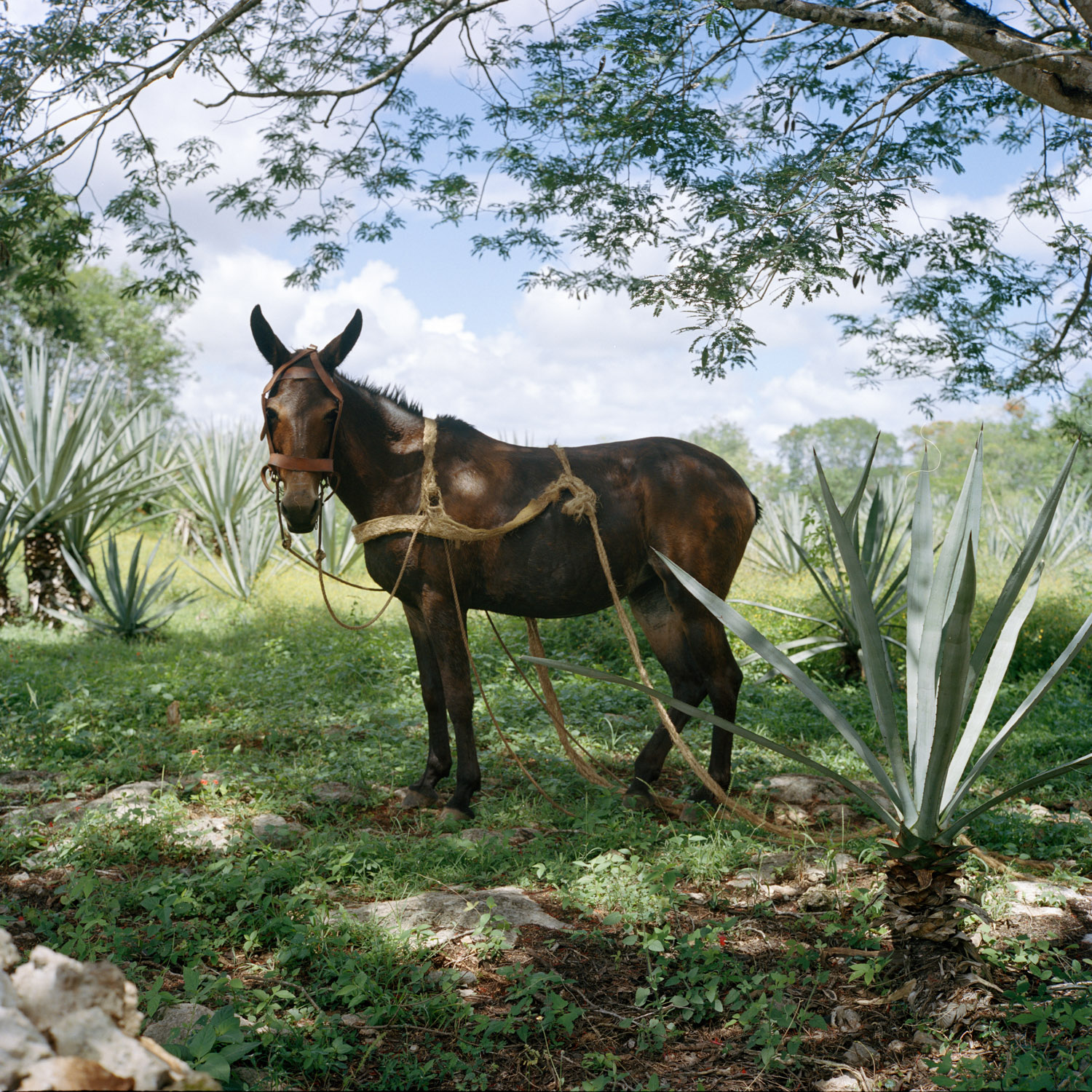 Donkey at henequen plantation. Sotuta de Peon, Mexico. 2016.